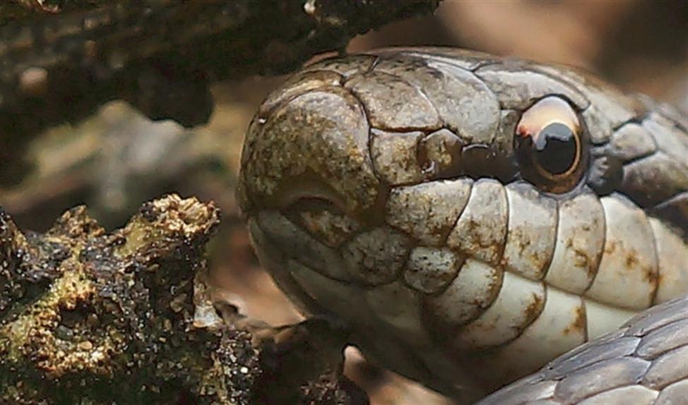 De gladde slang is een beest voor volhouders.   (uit boek)