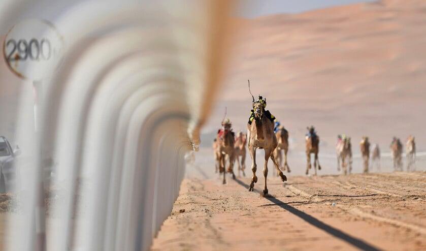 Kamelen met robotjockeys op hun ruggen racen over de Moreeb Duin nabij de Liwa Oase in de Verenigde Arabische Emiraten. Vanwege het gevaarlijke karakter van de sport zijn menselijke jockeys in het woestijnland verboden. De robotjockeys werden in 2004 geïntroduceerd.  (epa / Martin Dokoupil)