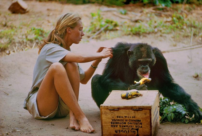Vanavond op TV: Hoe de meisjesdroom van een chimpansee-onderzoekster in vervulling ging  (eo)