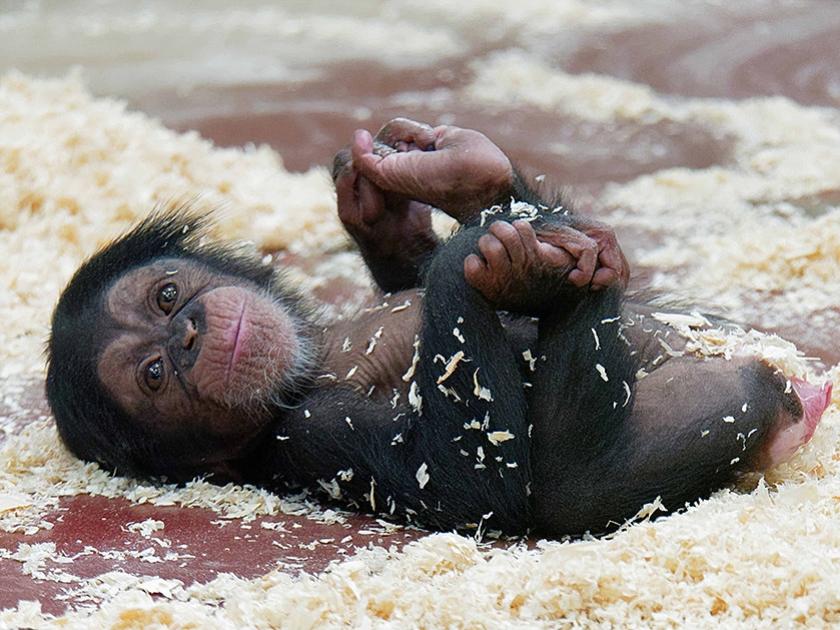 De kleine chimpansee Malaika, die in DierenPark Amersfoort woont, is een halfjaar geleden geboren. Zij zette onlangs haar eerste stapjes.  (dierenpark amersfoort)
