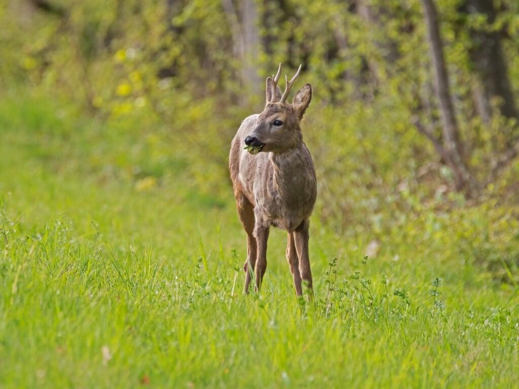 Jagers op Ameland willen dat zij op meer plekken reeën mogen afschieten, zodat zij de populatie in de hand kunnen houden.  (beeld pixabay)