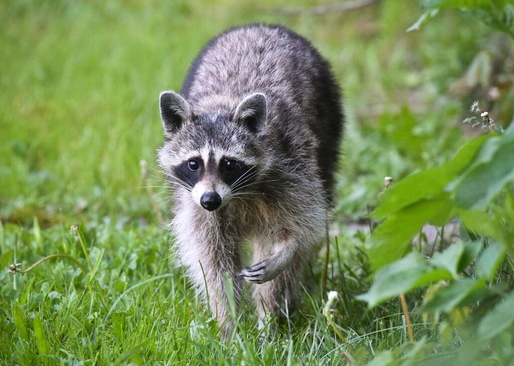 In Vught werd een wasbeer gevangen. Het dier op de foto is niet de wasbeer uit Vught.  (beeld afp / Patrick Pleul)