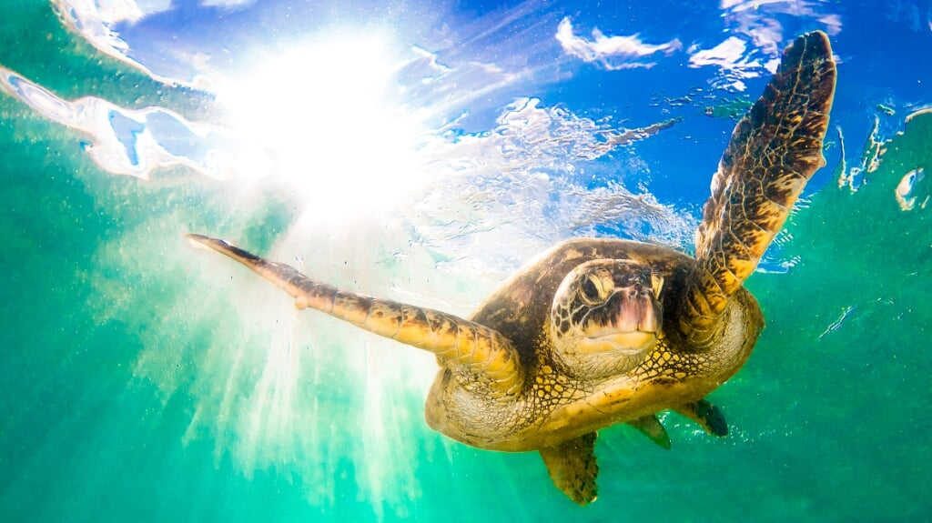 Picture Shows: Green Turtle Chelonia mydas, known in Hawaiian as the honu.   They are regularly found resting under underwater ledges, anibbling on sea grasses in shallow waters and basking on beaches, especially in the protected waters of the northern  (beeld Shane Myers Photography)