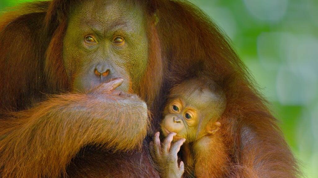 Picture Shows: A Bornean Orang Utan mother and baby, Pongo pygmaeus.  (beeld Screen grab)