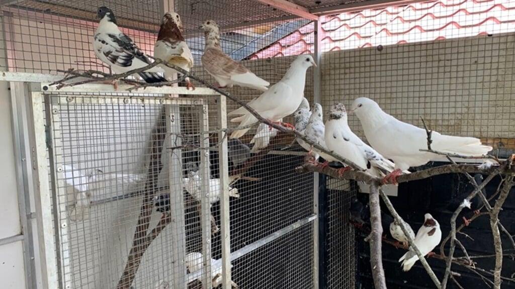 Deze duiven zoeken nog een nieuw onderkomen. De vogels zijn bij de noodopvang in Zwolle ontwormd.  (beeld rtv oost)